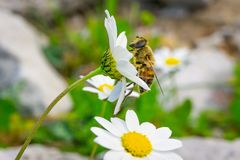 Honungbi som samlar pollen och nektar fr?n Daisy Chamomile royaltyfria foton