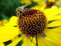 Honungbi som samlar pollen på den röda solbrudblomman, Heleniumautumnale Arnikablomma i trädgården wasp Royaltyfri Fotografi