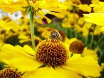 Honungbi som samlar pollen på den röda solbrudblomman, Heleniumautumnale Arnikablomma i trädgården wasp Arkivbild