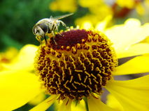 Honungbi som samlar pollen på den röda solbrudblomman, Heleniumautumnale Arnikablomma i trädgården wasp Royaltyfri Bild