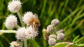 Honungbi som samlar pollen på en blomma stock video