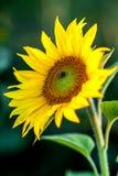 Honungbi som täckas med gult pollen som samlar nektar i blomma Djuret sitter att samla i solig sommarsolros Importan arkivbilder