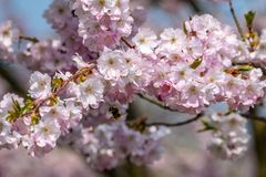 HonungbiApis som samlar nektarpollen fr?n den vita rosa k?rsb?rsr?da blomningen i tidig v?r royaltyfri bild