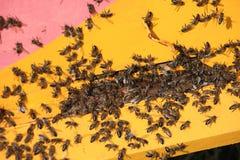 Honungbibikupor arkivfoto