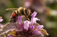 Honungbicloseup Fotografering för Bildbyråer