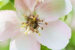 Honungbiet på blommorna för äppleträdet blomstrar closeupen Royaltyfri Bild