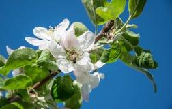 Honungbiet samlar nektar från vita blommor av Apple träd Arkivfoto