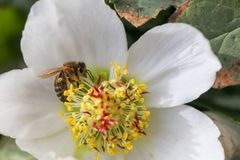 Honungbiet samlar nektar och pollen i tidig vår från helleboren, hellebores, Helleborusblomningväxter i familjen Ranuncu royaltyfria bilder