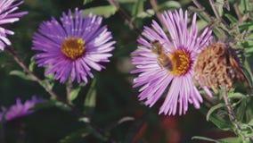 Honungbiet samlar nektar på blomman lager videofilmer