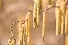 Honungbiet samlar pollen på en hasselnötbuske i vår arkivbilder