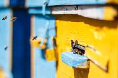 Honungbin för bikupaingången. Honungbisvärma och fluga Arkivbild