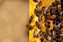 Honungbin i en bikupa på honungskakan Stäng sig upp av honungbi i honungskaka Svärm av biarbetaren i en bikupa arkivfoton