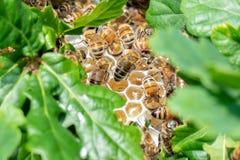 Honungbin i en lös bikupa Arkivbild