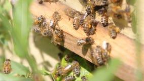 Honungbin på bikupan stock video