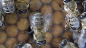 Honungbin på den hem- bikupan lager videofilmer