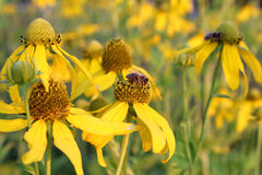 Honungbin som samlar in nectar på gula blommor Royaltyfri Fotografi
