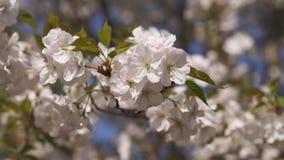 Honungbin som samlar pollen och nektar som mat f?r den hela kolonin och att pollinera v?xter och blommor - v?rtid till stock video
