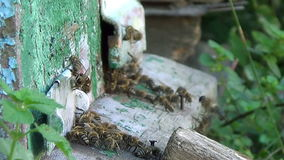 Honungbin som svärmer och flyger runt om deras bikupa stock video