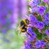 Honungbislut upp på blomman arkivfoton