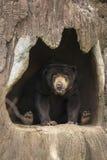 Honungbjörn på kommen mer nära Fotografering för Bildbyråer