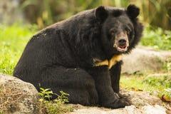 Honungbjörn på kommen mer nära Arkivfoto
