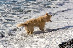 Honungfärggolden retriever i vågorna av havet Royaltyfri Fotografi