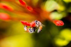 Honungsbi Arkivfoton