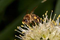 Honungsbi bi Arkivfoton