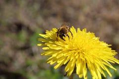 Honungsbi och maskros Arkivbilder