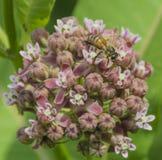 Honungsbi- och Milkweedblommor Arkivfoton