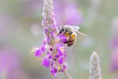 Honungsbi och svartDalea Fotografering för Bildbyråer