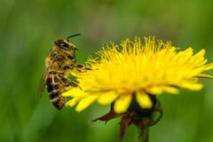 Honungsbi på en annalkande nektar för maskros royaltyfri fotografi