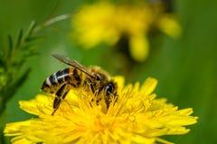 Honungsbi på en annalkande nektar för maskros arkivfoton