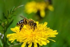 Honungsbi på en annalkande nektar för maskros royaltyfri foto