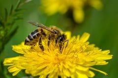 Honungsbi på en annalkande nektar för maskros arkivfoto