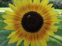 Honungsbi på en solros Fotografering för Bildbyråer
