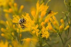 Honungsbi på guling Arkivfoto