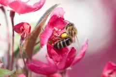 Honungsbi på rosa färger Arkivbilder
