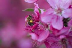 Honungsbi på rosa färger Royaltyfri Foto