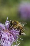Honungsbi på rosa tistel Arkivfoton
