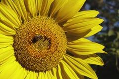Honungsbi på solrosen Royaltyfri Fotografi
