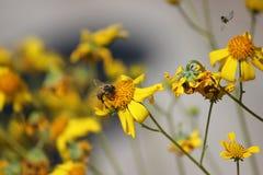 Honungsbi på vildblomma Arkivfoton