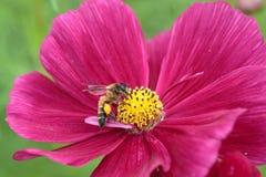 Honungsbi som pollineras av den röda blomman Arkivbild