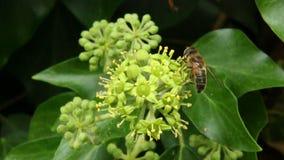 Honungsbi som samlar nektar och pollen Arkivbild
