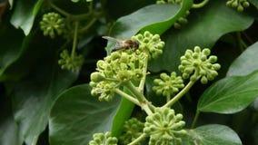 Honungsbi som samlar nektar och pollen Arkivfoto