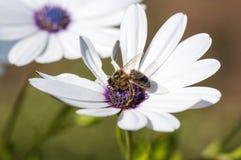 Honungsbi som samlar pollen från en vit tusensköna Arkivbilder