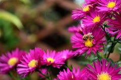 Honungsbi som tar pollen och nektar från rosa Michaelmas tusenskönor royaltyfri foto