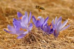 HonungsbiApismellifera, bi som på våren flyger över krokusarna royaltyfri fotografi