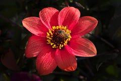 HonungsbiApismelliferaon på det ljusa mörkt - röd dahliablomma royaltyfri foto