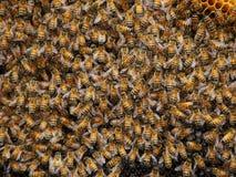 Honungsbibakgrunder Royaltyfri Bild